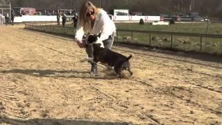Bully Run 2015 - Bull Terriers, Standard & Miniature