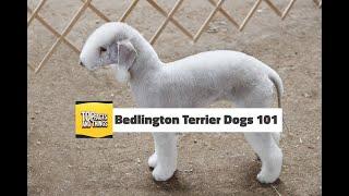 Bedlington Terrier Dogs 101