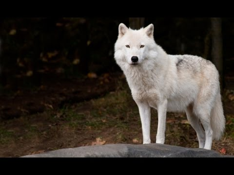 Wolf Spirit Animal Meaning Youtube