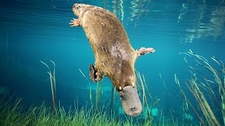 The Secrets of the Platypus | Discovery English Subtitles
