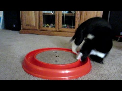 Figaro gets a new toy! (Daily #426)