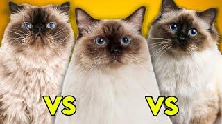 Ragdoll Cat Vs Birman Cat Vs Himalayan Cat Ultimate Guide To Identify Them