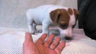 http://jackrussell.breeders.jp/