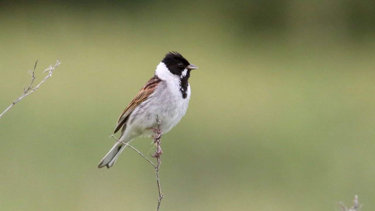 Reed Bunting Calling Youtube