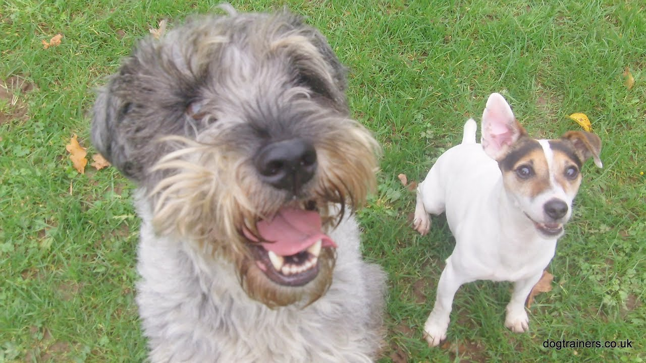 Schnauzer Harry & Jack, Jack Russell argue. - YouTube