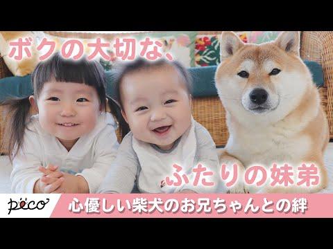 ぼくたち仲良し兄弟!心優しい柴犬のお兄ちゃんとの絆🐶【PECO TV】