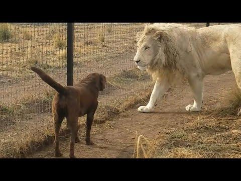 Lion asking dog for forgiveness