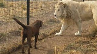 白ライオンの威風堂々としたご挨拶。百獣の王、ラブラドール・レトリバーと友達になる