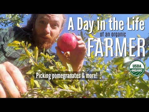 A Day in the Life of an Organic Farmer | Picking pomegranates & more!