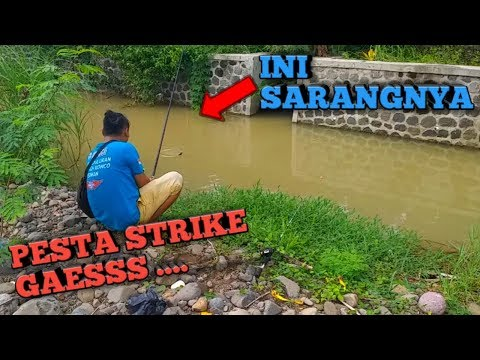 Sambangi Sungai Sarang Ikan Nila Pesta Strike thumbnail