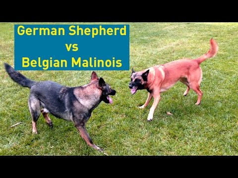 German Shepherd vs Belgian Malinois - Comparison