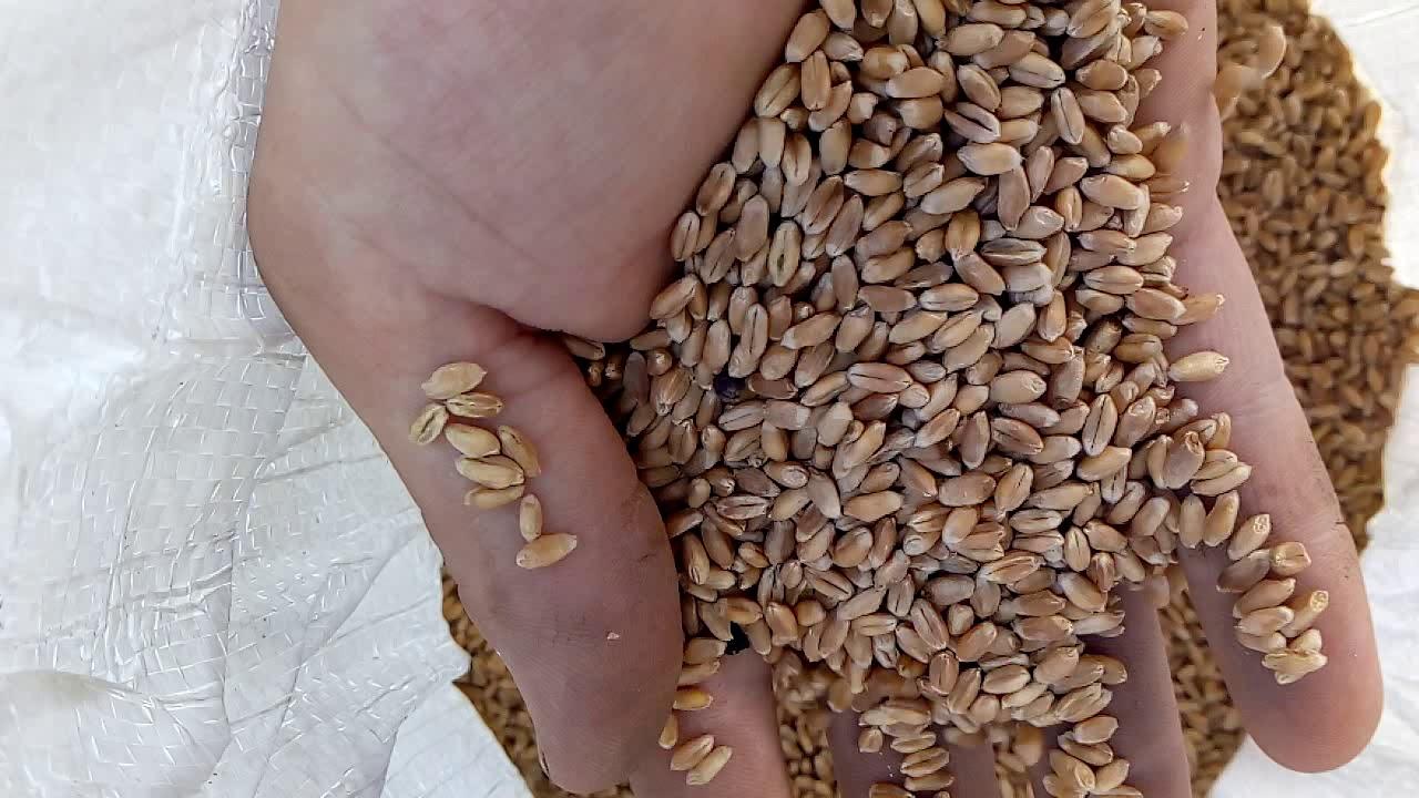 Обзор семян канадской пшеницы яровой сорт Альберта-108