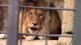 Львы, тигры, леопарды Зоопарк в Минске - Приколы с животными