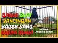 Kacer Gacor Roll Tembak Rapat Cocok Buat Pancingan Yang Mogok Bunyi Dan Susah Bunyi  Mp3 - Mp4 Download