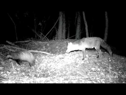 Bushnell Trophy Cam HD Wildlife Camera Trap Footage of Fox and Badger Living Next To Each Other