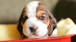 Basset Hound Puppies In A Tiny Wagon