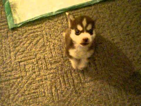 Husky pup..possibly world's smallest?' Remmy' 8 wk old Husky pup Sits and speaks on command.
