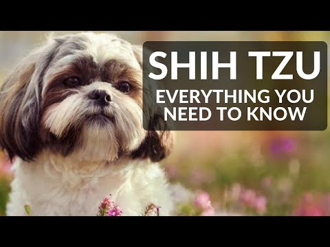 SHIH TZU 101! Everything You Need To Know About Owning A Shih Tzu Puppy!