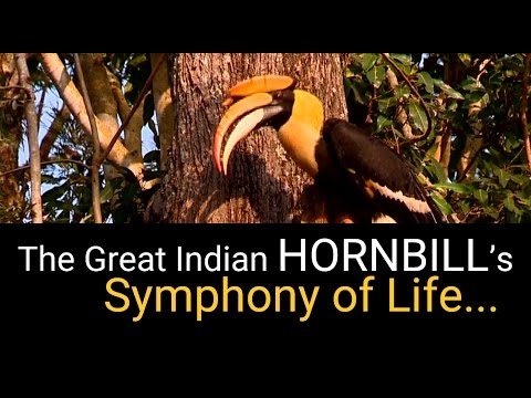The Great Indian HornBill's Symphony Of Life