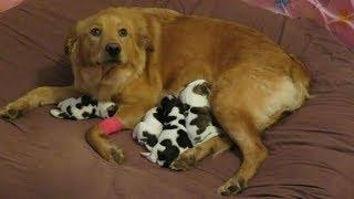 Спасённая беременная собака рожает «маленьких коровок» - Смешные кошки МатроскинТВ