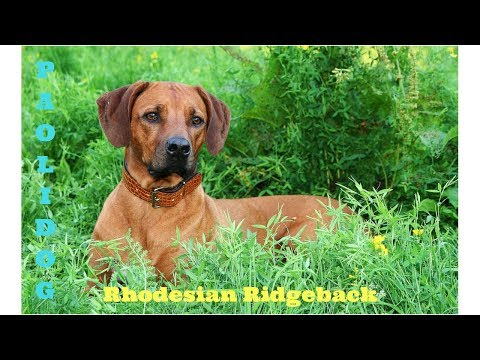 RHODESIAN RIDGEBACK   (Top 10 interesting facts)