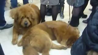 Выставка собак 19 ноября 2016 год Волгоград