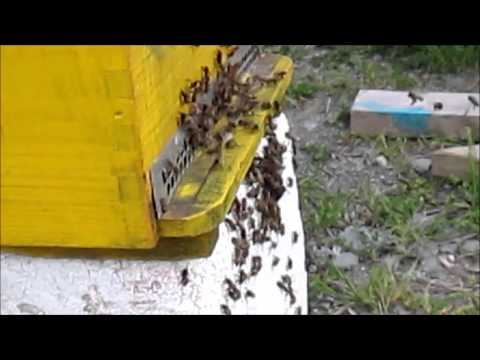 bee swarm june 5 st johns hall gallery 2015