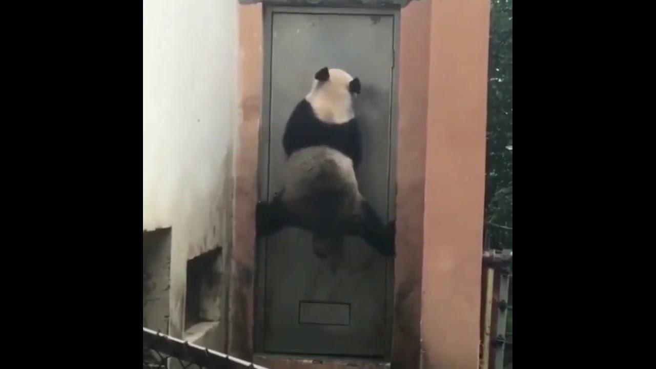 Pandaların Komik Videoları