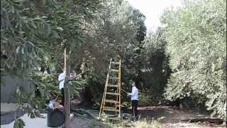 Picking Olives and Making Olive Oil in the Galilee
