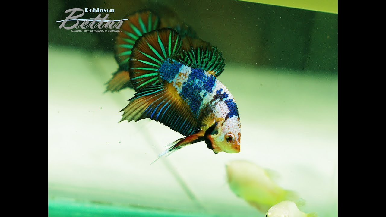Betta fancy koi hm pk male youtube for Male koi fish