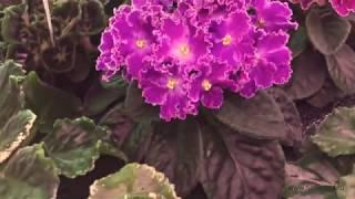 Цветущие фиалки в нашей теплице