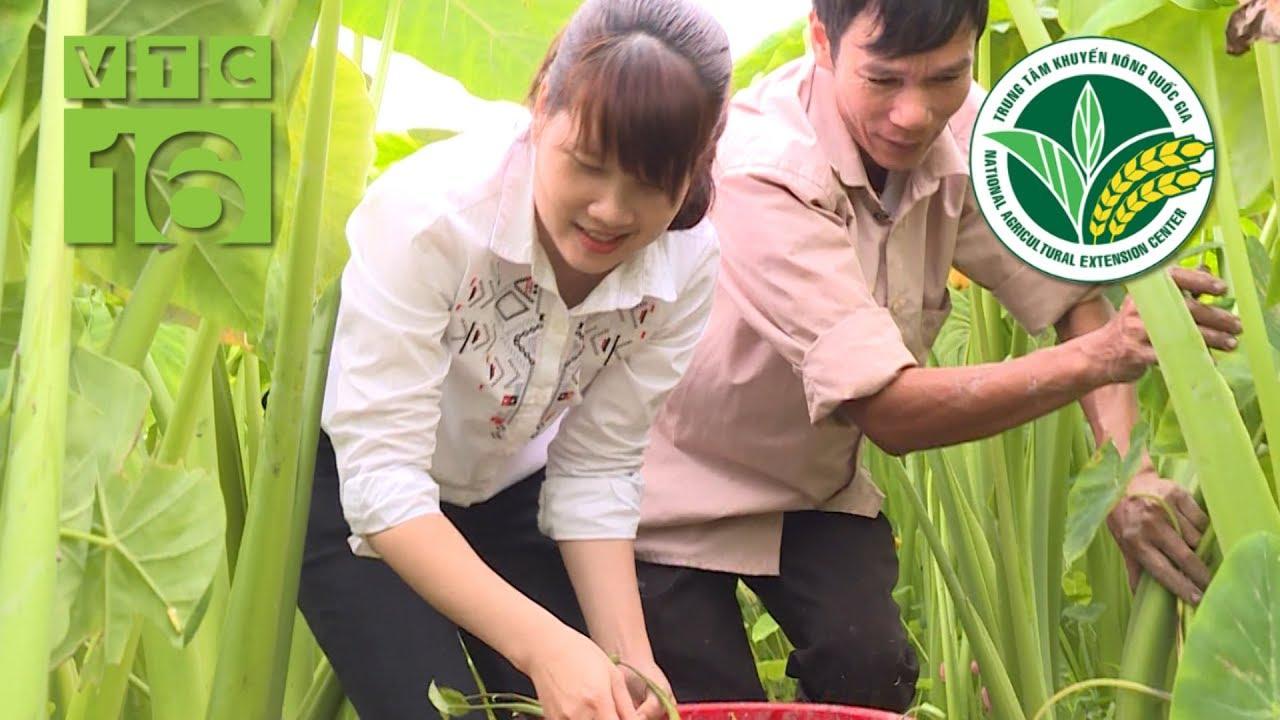"""Khoai lấy ngó: """"Cây vàng"""" trồng trên đất trũng   VTC16"""