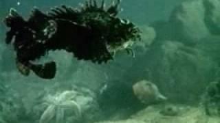 Скорпены (морские ежи)