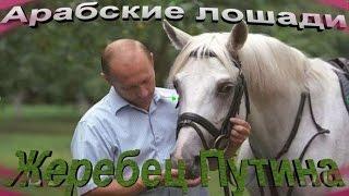Арабские лошади. Жеребец Путина.(Арабские лошади.Жеребец Путина. Арабские лошади принадлежат к числу древнейших благородных пород. Многие..., 2016-10-24T08:32:02.000Z)