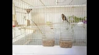 مرحلة مهمة وخطوة كبيرة لإنتاج طائر الحسون بالقفص (ركزو جيدا) -معاذ-