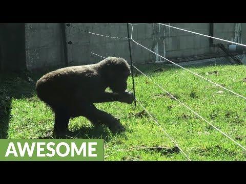 Craig Stevens - Gorilla figures out electrical fence
