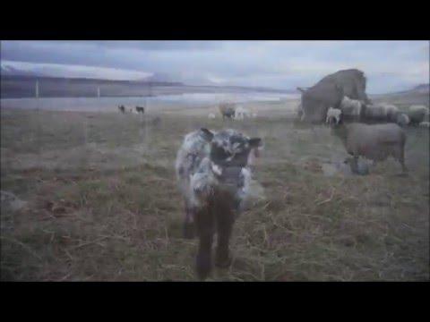 A day on da farm - Iceland