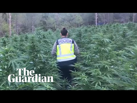 Cannabis plantations discovered by police in Spain