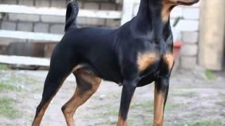 Немецкий пинчер  это отличная сторожевая и собака компаньон