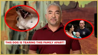 This Dog is Tearing this Family Apart! (Cesar's Dog Nation!)