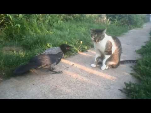 Ворона и кошка: 'высокие' отношения.