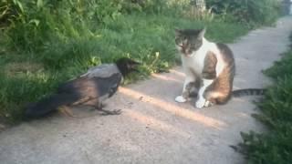 """Ворона и кошка: """"высокие"""" отношения."""