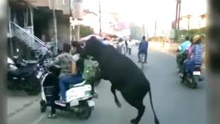 Bull fucked Women getting by a