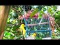 Serunya Mikat Burung Sertu Cepoh Bikin Ketagihan  Mp3 - Mp4 Download
