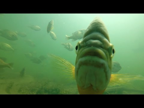 A Biologist's Perspective On Big Bluegills