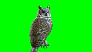 green screen owl  effect