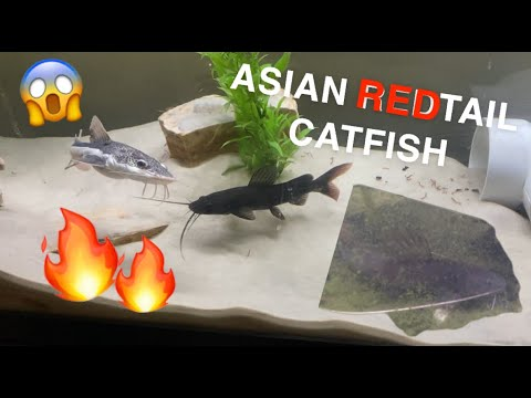 Getting An ASIAN REDTAIL CATFISH!!! *SUPER EXOTIC*