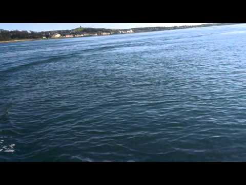 Dolphins playing in Strangford Lough