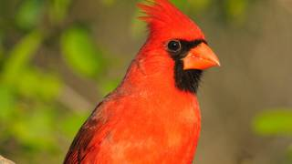 Birding by Ear: Northern Cardinal Song