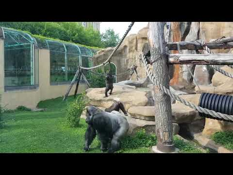 A family of Western lowland gorillas